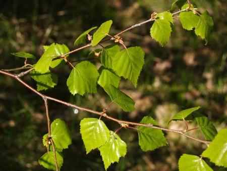 betula pendula: Ramo con giovani foglie di una betulla verrucosa di Betula pendula Roth Archivio Fotografico