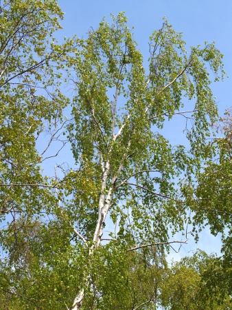 betula pendula: Birch warty  Betula pendula Roth  against the blue sky