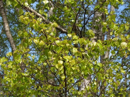 betula pendula: Young foliage of a birch of warty  Betula pendula Roth  Stock Photo
