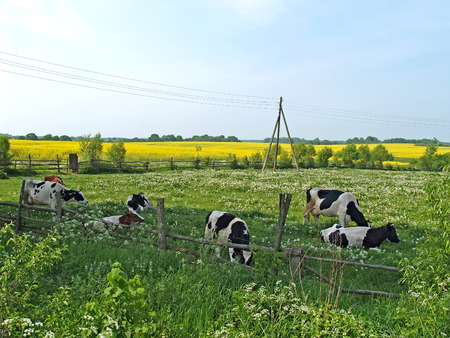 Cows are grazed on a pasture