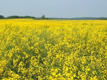 colza: El campo de colza en flor