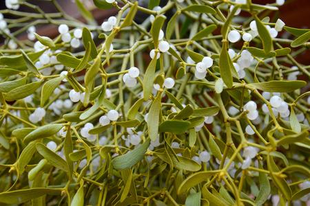Mistletoe white  Viscum album L