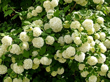 guelder: Guelder-rose of  Buldonezh  - the Snow sphere Stock Photo