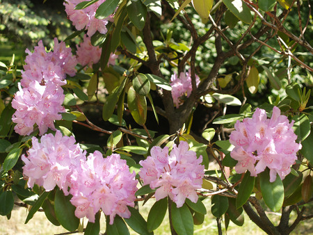 l natural: Pink rhododendron Stock Photo