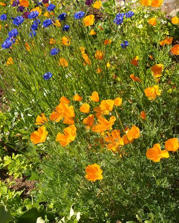 californian: Eshsholtion  the Californian poppy  and cornflowers
