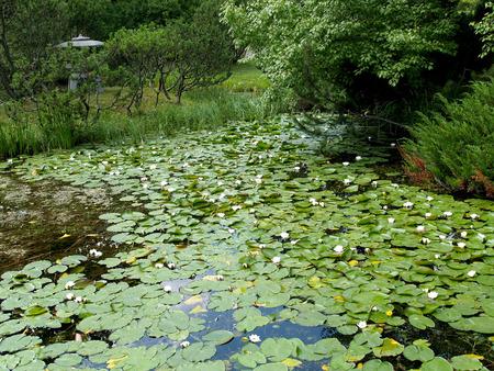 grew: Water-lilies white in park grew Stock Photo
