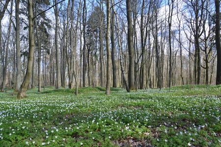 Anemonies dubravny in the spring wood grew photo