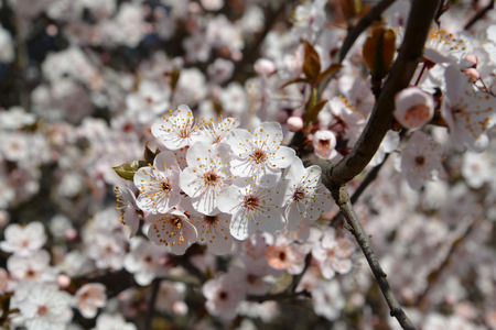 Branch of blossoming cherry (Prunus subgen. Cerasus) Stok Fotoğraf