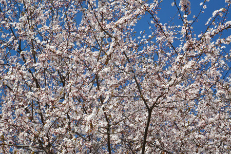 Blossoming cherry tree (Prunus subgen. Cerasus)