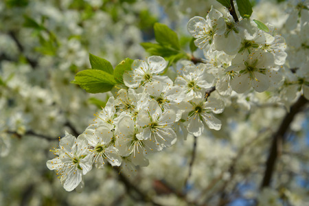 Branch of blossoming plum house  Prunus domestica L    Stock Photo