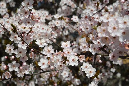 Cherry flowers (Prunus subgen. Cerasus) Stok Fotoğraf