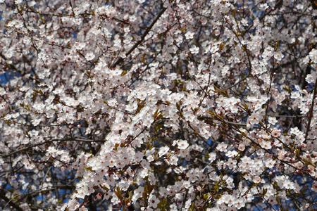 Cherry blossoming (Prunus subgen. Cerasus) Stok Fotoğraf