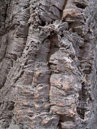 m�dula: Corteza de un roble m�dula, fondo