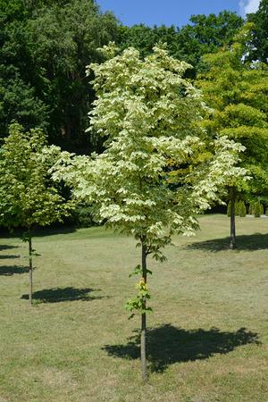 acer platanoides: Maple acutifoliate Drummonda (Acer platanoides Drummondii)