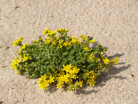 the caustic:    Sedum caustic  Sedum acre L    growing on sand