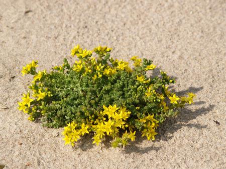 Sedum caustic Sedum acre L growing on sand