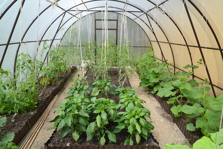 Cultivation of vegetables in the greenhouse from cellular polycarbonate photo