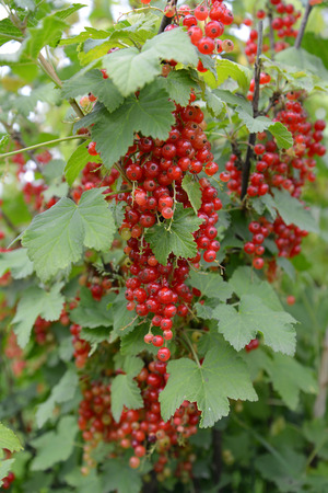 ribes: Branch of red currant with berries  Ribes rubrum L