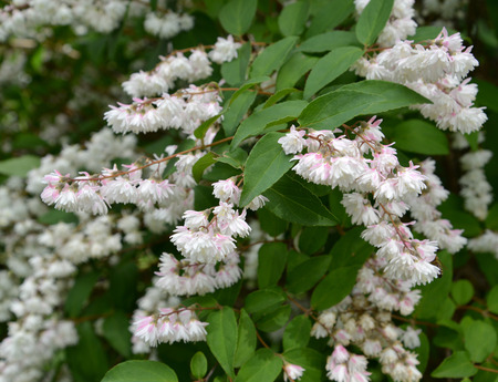 Blossoming deytion rough, or star-shaped (Deutzia scabra Thunb. ) Stock Photo