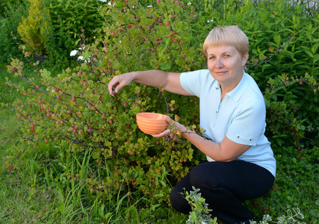 50 to 55 years: The woman of average years picks gooseberry berries