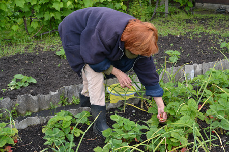 50 to 55 years: The woman gathers strawberry on a garden site