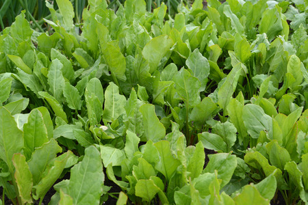 Growing sorrel sour Stock Photo