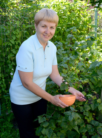 50 to 55 years: The woman of average years picks berries of black currant from a bush Stock Photo