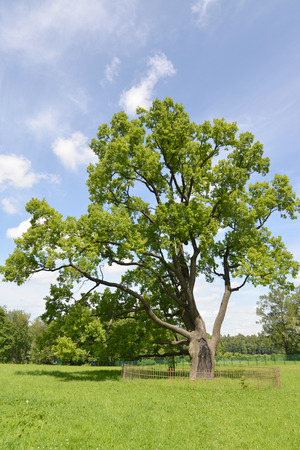 fagaceae: The lonely old oak grows in park Stock Photo
