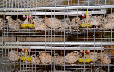 Quails sit in a cage with drinking bowls photo