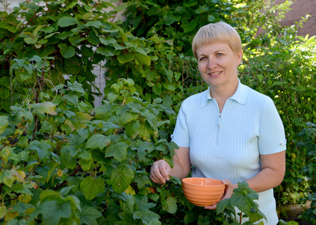 The woman of average years picks berries of black currant Stock Photo
