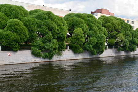 salix: Willow fragile (Salix fragilis L. ) growing along Moika River Embankment  Stock Photo