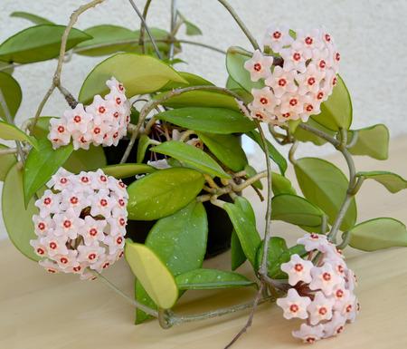 charnu: Floraison charnue, ou une cire de lierre