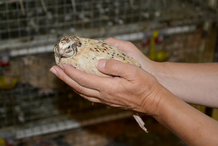 Hands of the woman hold a quail. Quail farm photo