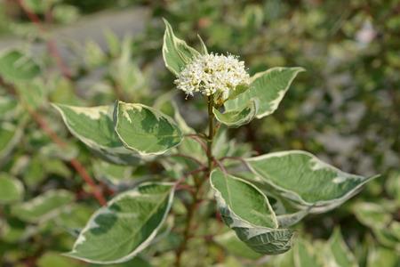 Blossoming Swidina white (Derain, swida ) poecilophyllous (Cornus (Swidina) alba L.