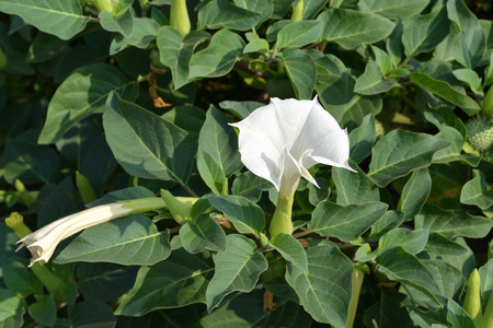 dope: Blossoming dope Indian (Datura inoxia Mill. ) Stock Photo