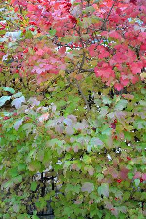 guelderrose: Bush of a guelder-rose ordinary (Viburnum opulus L.) with berries
