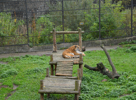 The Amur tiger lies on the timbered bridge in a zoo photo