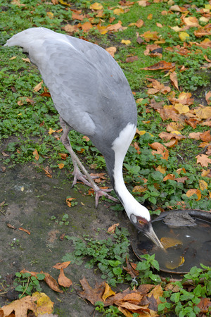pallas: The white-naped  crane (Grus vipio Pallas) drinks water from a bowl
