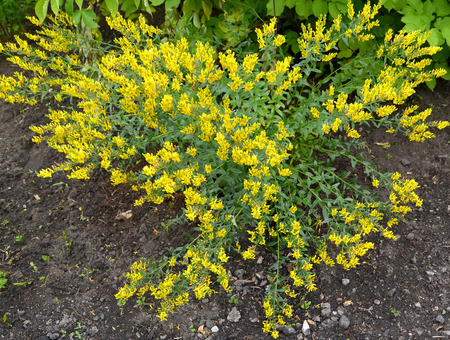 bloodthirsty: The blossoming genista tinctorial (a genista blood-thirsty) (Genista tinctoria L.) Stock Photo