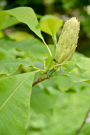 Magnolia umbrella (Magnolia tripetala L.), a fruit on a branch photo