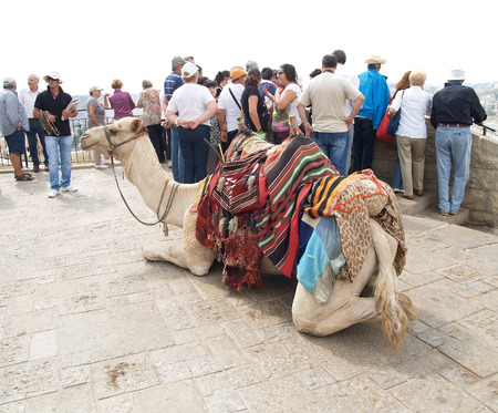 Camel the dromedary with a body cloth for driving of tourists on an observation deck in Jerusalem, Israel