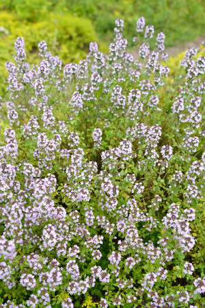 The blossoming Thyme creeping (a thyme ordinary) (Thymus serpyllum L.)