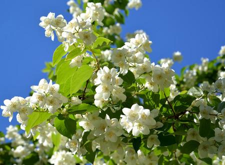 hydrangeaceae: The blossoming mock orange - a false jasmine (Philadelphus L.) against the blue sky