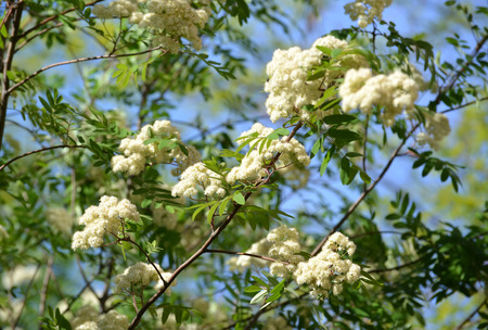 sorbus aucuparia: Blossoming of a mountain ash ordinary (Sorbus aucuparia L.) against the blue sky Stock Photo