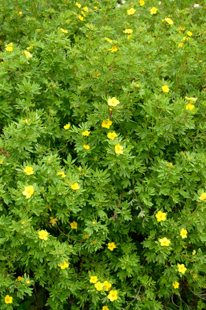 The blossoming cinquefoil shrubby (Kuril tea shrubby, a silverweed shrubby) (Pentaphylloides fruticosa (L.) O.Schwarz)