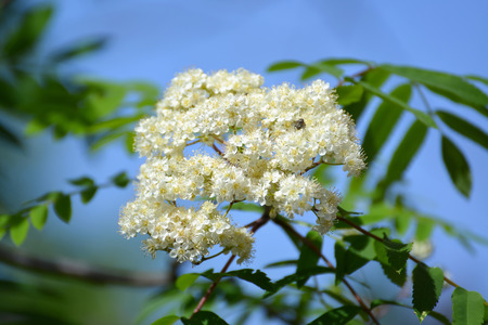 aucuparia: Inflorescence of a mountain ash ordinary (Sorbus aucuparia L.) against the blue sky Stock Photo