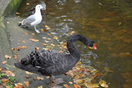 The black swan (Cygnus atratus Latham) and seagull stand on the coast of an autumn pond photo