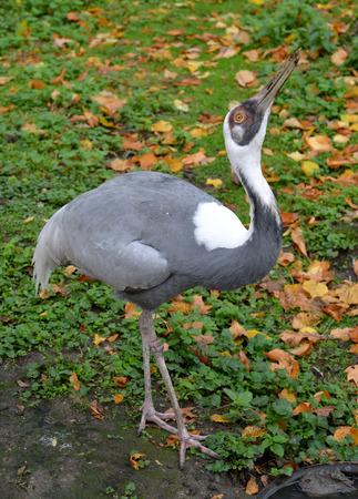 pallas: The white-naped  crane (Grus vipio Pallas) costs with the head raised up