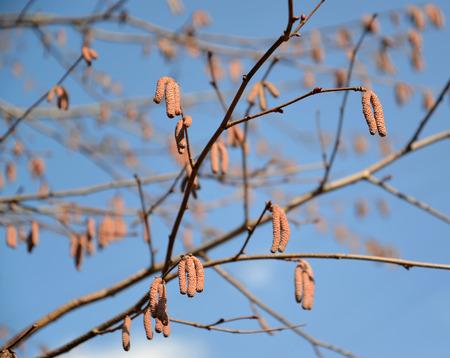 corylus: The blossoming common hazel (hazel grove), form purple. Corylus avellana (L.) H.Karst. Purpurea