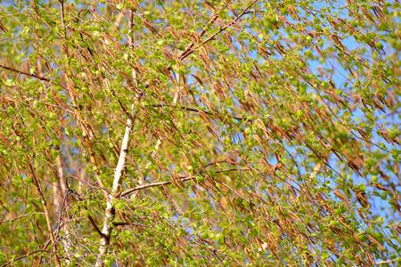 betula pendula: Fioritura di una betulla di povisly (verrucosa) (Betula pendula Roth). La Primavera